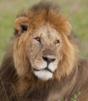 African Lion - male