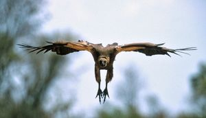 African White-backed VULTURE - preparing to land at a carcass