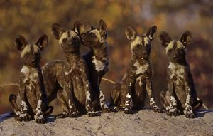 African Wild Dogs group of pups at den