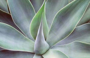 AGAVE ATTENUATUM - close-up