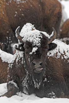 American Bison - in snow