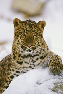 Amur Leopard / Korean Leopard - endangered species