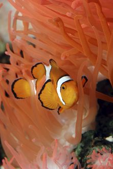 Anemone Fish - unharmed among tentacles of sea anemone