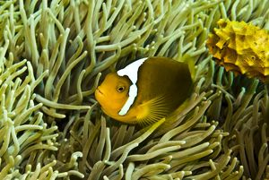 Anemonefish - Unusual hybrid only seen in the PNG Solomon Islands area and not often