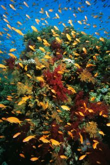 Anthias - school on coral reef