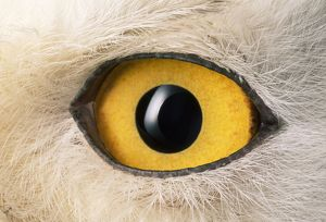 ANZ-25 SNOWY OWL - close-up of eye