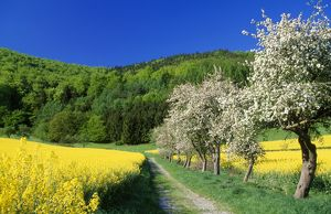 landscapes/apple blossom oil seed rape brassica napus