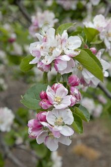 Apple trees in blossom in May