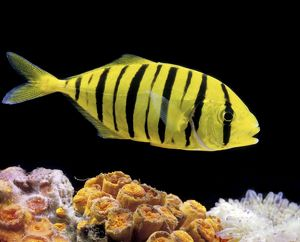 Aquarium Fish - Golden Jack