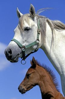 Arab Horses - adult and foal