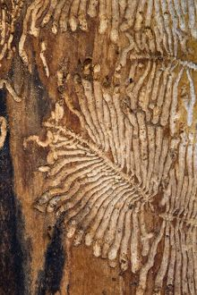 Ash Bark Beetle Gallery