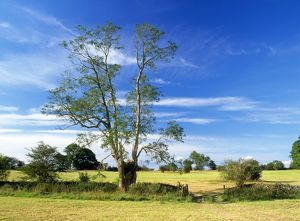 Ash Tree - old Pollard Ash Tree in cut hay field