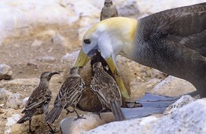 AU-1613 Waved Albatross - feeding chick, with Hood Island Mockingbird (Nesomimus