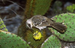 AU-1658 Galapagos Mockingbird - feeding on Opuntia flower