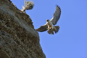 Austral Peregrine Falcon - adult male calling in flight