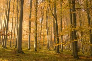 autumn forest - the low morning sun casts sunrays into a brightly autumn coloured beech forest