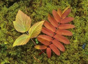 Autumn leaves - colourful turned leaves of Rowan tree and European dewberry (Rubus