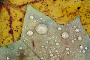 Autumn Leaves - with dewdrops