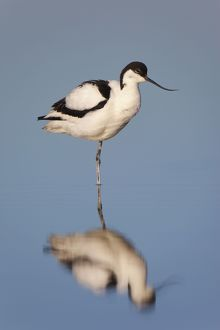 Avocet with reflection