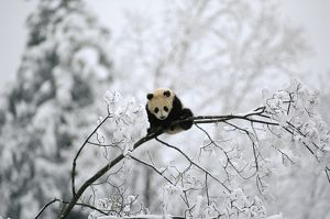AW-5302 Giant PANDA - juvenile up tree, in snow