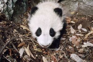 AW-6299 Giant Panda - juvenile in den - 4 months old