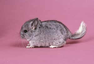 Baby CHINCHILLA - four weeks