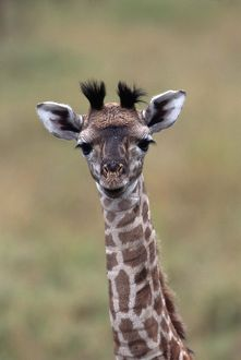 BABY GIRAFFE - close-up of head and neck