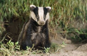 BADGER - young sitting at sett entrance