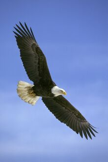 Bald Eagle - In flight