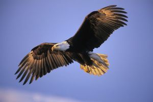 Bald Eagle - in flight. Early morning light