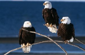 BALD EAGLE - x three, on three twigs