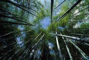 Bamboo Forest - from below