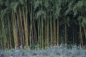 Bamboo - and Pyrethrum Daisies