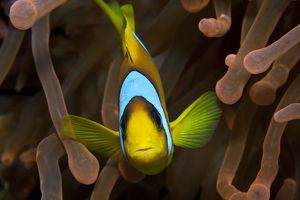 Two Banded Anemonefish / Red Sea Clownfish