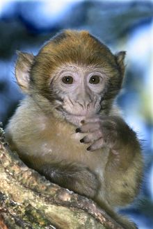Barbary macaque / ape or rock ape - young