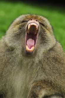 Barbary Macaque / Common Macaque - displaying - yawning