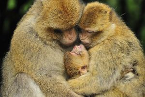 Barbary Macaque / Common Macaque - huddled together