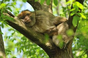 Barbary Macaque / Common Macaque - sleeping in tree
