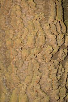 Bark of Monkey Puzzle tree