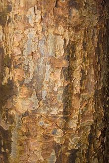 Bark of paperback maple