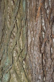 Bark of Sweet Chestnut
