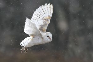 Barn Owl - in flight