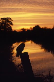 Barn Owl - sitting on perch at sunset