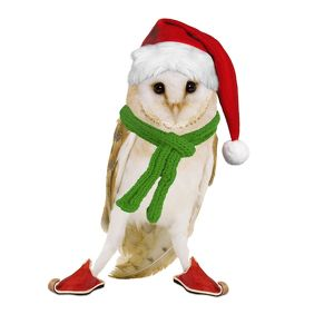 Barn Owl - wearing Christmas hat, scarf and shoes