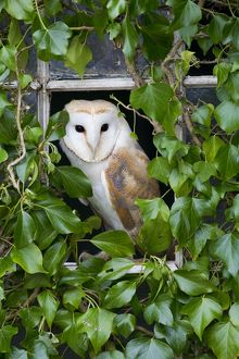 Barn Owl at window