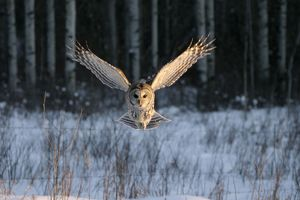 Barred OWL - in flight, wings spread