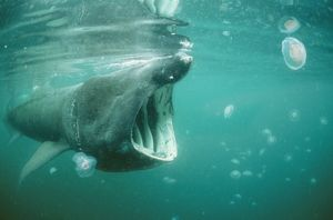 BASKING SHARK & JELLYFISH