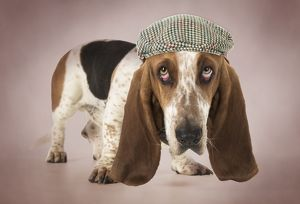 Basset Hound dog with a sad expression wearing a flat cap hat
