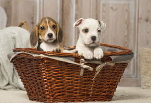 Beagle puppy and American Bulldog puppy dog indoors