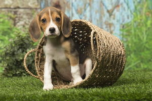 Beagle puppy dog outdoors in a basket